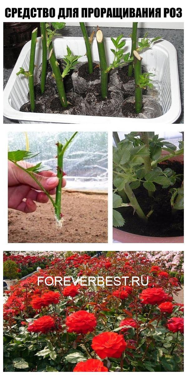 Супер-средство «Тройчатка» для проращивания роз.