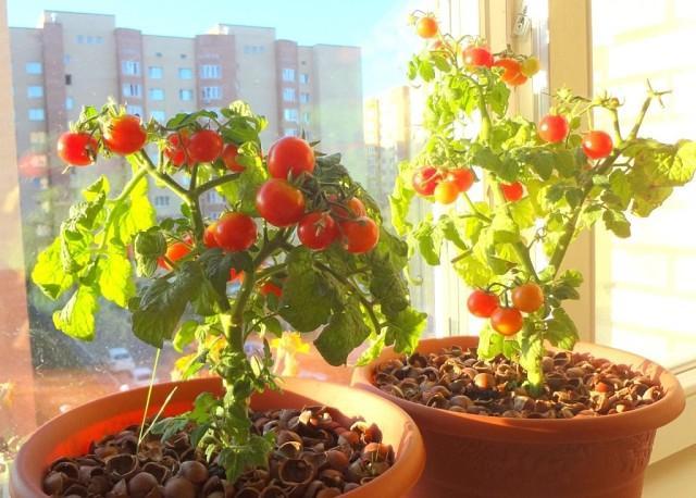 Как вырастить комнатные помидоры