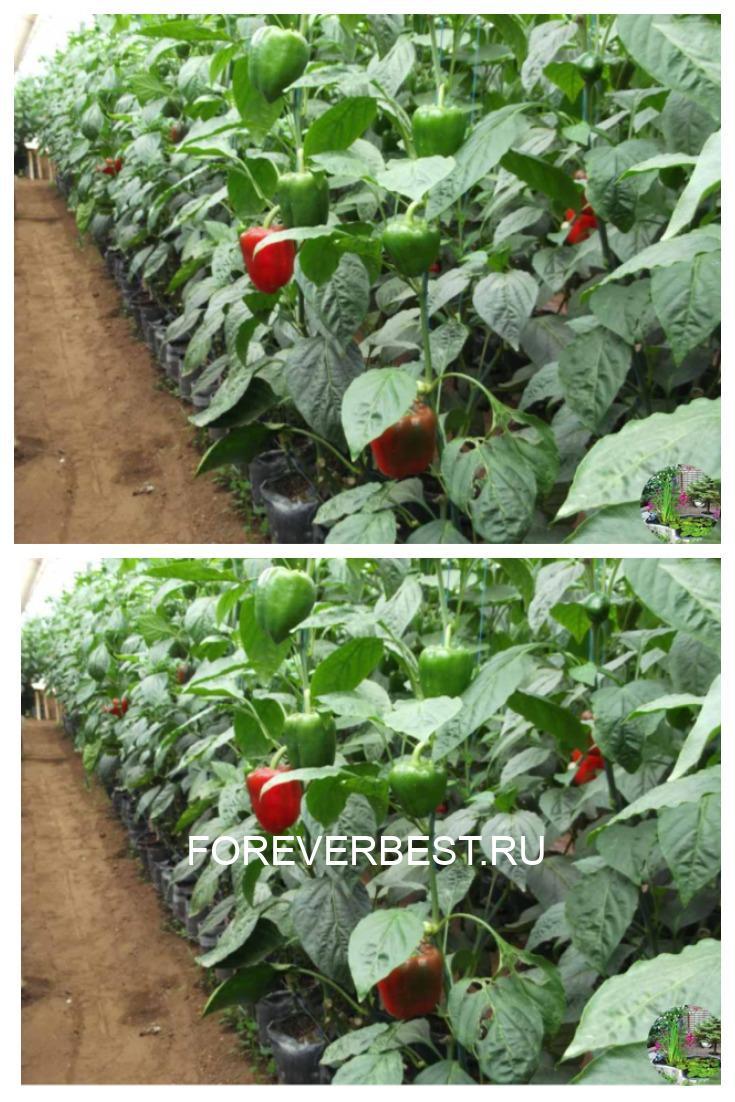 Хитрости выращивания перца.