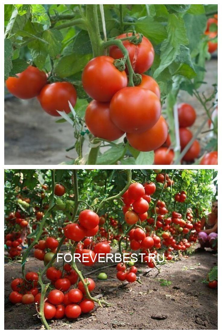 Μои помидоры никогда не болеют фитофторой