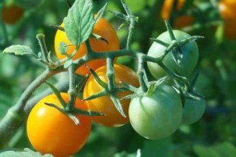 Йодная молочная сыворотка для обработки томатов от фитофторы 1